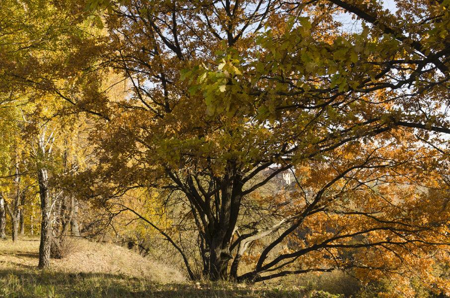 Autumn Oak in yellow Landscape photo by Arkady Gude